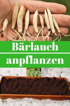 Bärlauch anpflanzen Wild garlic can be used like chives or garlic and freezes very well. Growing Vegetables In Pots, Different Vegetables, Growing Plants, Growing Mint, Vegetable Garden Planner, Wild Garlic, Garlic Chives, Fresh Garlic, Gardens