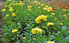 Yellow dahlias at Fernrock Farm.