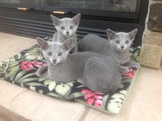 Maple Leaf's kittens b. 6-13 at 3 months