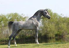 DeSha Wahiid (Laheeb Al Nasser × Alfabia Salaa) 2009 grey SE stallion bred by DeShazer Arabians - Strain: Kuhaylan Rodan, Bint Rissala Family