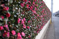 Newest Photos Camellia fence Concepts Camellia is really a cherished time tested plant or maybe shrub of which brightens a low light place Camellia Tree, Camellia Plant, Citrus Garden, Garden Plants, Shade Garden, Back Gardens, Outdoor Gardens, Specimen Trees, Houses