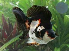Aquarium Filters And Aquarium Supplies Ryukin Goldfish, Comet Goldfish, Goldfish Aquarium, Goldfish Tank, Aquarium Fish Tank, Fish Tanks, Colorful Fish, Tropical Fish, Aquariums
