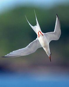 Tern. #seagull #bird