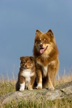 Finnish Lapphund mother and pup. Cute Baby Animals, Animals And Pets, Funny Animals, Beautiful Dogs, Animals Beautiful, Cute Puppies, Dogs And Puppies, Pet Dogs, Dog Cat