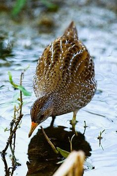 Birds in Thailand: Spotted Crake