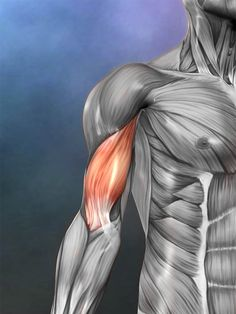 The biceps brachii muscle flexes the elbow and assists supination of the forearm. www.realbodywork.com