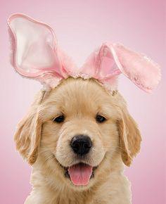 Golden bunny pup