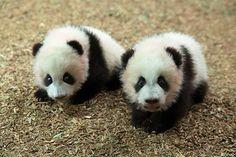 panda loveeeeeeeee
