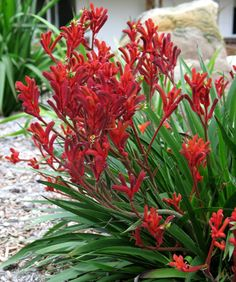"Kangaroo Paw Ruby Red ""Anigozanthos flavidus"" – The Wild Papaya Tropical Garden, Plants, Australian Plants, Australian Native Plants, Native Plants, Native Garden, Bush Plant, Drought Tolerant Plants, Australian Garden"