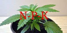Nutrients for autoflowering cannabis