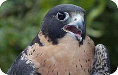 Discover the messages your falcon animal totem is sending your way. Includes falcon meaning and symbolism.