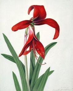 Flower Study, (w/c) Fine Art Print by Peter Brown