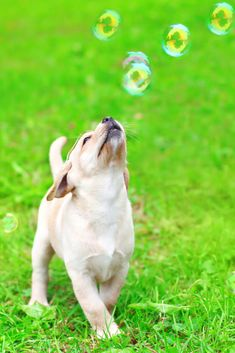 Beautiful dog puppy labrador retriever playing with soap bubbles on grass Super Cute Animals, Cute Funny Animals, Cute Baby Animals, Lab Puppies, Cute Puppies, Cute Dogs, Wrinkly Dog, Labrador Retriever, Fluffy Dogs
