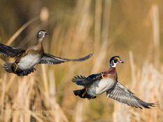 Wood Duck, male, female, flight. Lake Washington, Seattle.