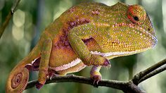 A canopy chameleon (Furcifer willsii) traverses the narrow twig branches of a tree fern.