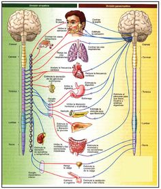 Sistema nervioso Autónomo                                                                                                                                                                                 Más