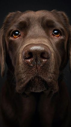 Mind Blowing Facts About Labrador Retrievers And Ideas. Amazing Facts About Labrador Retrievers And Ideas. Beautiful Dogs, Animals Beautiful, Cute Animals, Cute Puppies, Cute Dogs, Corgi Puppies, Regard Animal, Golden Retriever, Retriever Puppies