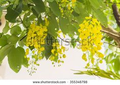 Golden flower or Cassia fistula. It is national flower of Thailand - stock photo