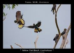 Image result for images black cockatoos with yellow tails flying