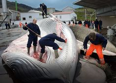 "Why Is the World Ignoring Iceland's Growing Slaughter of Endangered Whales?  ""Iceland's escalating whale hunts are clear and willful abuses of the IWC's moratorium as well as the ban on international commercial trade in whale products,"" states the report issued by the Environmental Investigation Agency (EIA), the Animal Welfare Institute (AWI) and the Whale and Dolphin Conservation (WDC). But harsh words alone are simply not enough to halt the hunting. ENOUGH!  PLZ Sign and Share!"