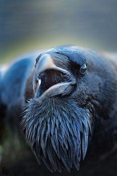 Raven Portrait  Paul Nolte