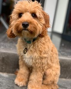 Oh hey there Cavoodle Dog, Cavapoo Puppies, Puppys, Happy Puppy, Puppy Love, Very Cute Puppies, Funny Puppy Pictures, Puppy Grooming, My Animal