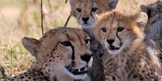 Cheetahs and its cubs Masai Mara
