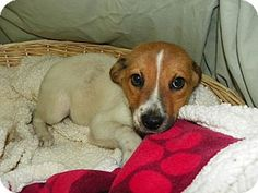Waldorf, MD - Hound Mix. ADOPT Honey! A sweet 3month old puppy at Last Chance Rescue. Click on photo to see all info. Please share!  http://www.adoptapet.com/pet/11352531-waldorf-maryland-hound-unknown-type-mix