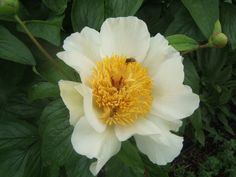 Love peonies? They can be fussy but these tips will help you get the big, beautiful blooms at http://sensiblegardening.com/golden-oldies-part-three/