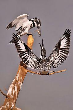 Pied Kingfisher (Ceryle rudis) Photo by Eric Landsberg Kinds Of Birds, All Birds, Birds Of Prey, Love Birds, Pretty Birds, Beautiful Birds, Animals Beautiful, Beautiful Pictures, Exotic Birds