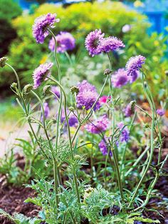 PERENNIAL - Pincushion Flower  Pincushion flower, or scabiosa, serves up dainty blue flowers all summer and into fall, making it one of the longest-lasting bloomers in the perennial bed. It likes sun or partial shade, and is best at the front of the bed. The foot-tall variety 'Blue Butterfly' stands up to heat best.