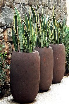 As duas variedades de espada-de-são-jorge, uma com folhas rajadas acinzentadas e a outra com margens amareladas, alternam-se no trio de vasos de concreto, da Vasos da Terra, cada um com 84 cm de altura. Em vasos altos, a espécie ganha mais porte e funciona como cerca viva, tanto que na foto é alternada por murta. O paisagista Marcelo Bellotto, autor da composição, usa a espada-de-são-jorge em projetos contemporâneos, geralmente em locais que precisam de verde, ma