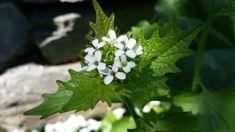 Sammel-Liste essbare Wildpflanzen Mai