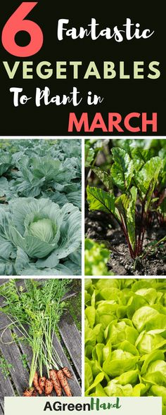 March is a great time to grow new vegetables in your garden. You can grow lettuce and carrots in raised beds or you can have rows of beets and cabbages. #vegetablegarden #gardeningtips #agreenhand #vegetablesgardening