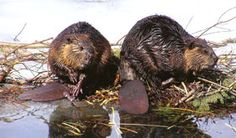 A few local beavers exploring their own home in the Canadian Rockies. #ExploreRockies
