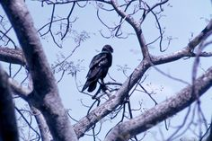 Tawny eagle standing in tree. 1966. W. & G. Garst Photographic Collection, University Archive, Archives and Special Collections, CSU, Fort Collins, CO