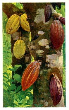 Cacao. O cacaueiro (Theobroma cacao. significa alimento dos deuses) é a árvore que dá origem ao fruto chamado cacau. É da família Malvaceae e sua origem é América do Sul e Brasil.