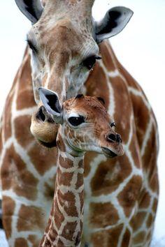Tumblr: Giraffe & Momma
