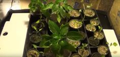 How To Build An Aquaponics System Using A 55 Gallon Plastic Drum For $25... - http://www.ecosnippets.com/gardening/aquaponics-system-55-gallon/