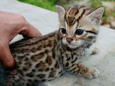Ocelot kitten <3  I hope to save one some day