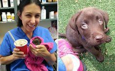 Une vétérinaire sauve de l'euthanasie un labrador chocolat pas plus grand qu'un milk-shake chocolat.