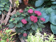 Invincibelle®+Ruby+-+Smooth+hydrangea+-+Hydrangea+arborescens