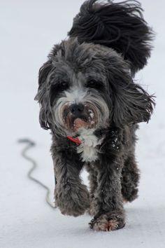 Mozart, Tibet Terrier