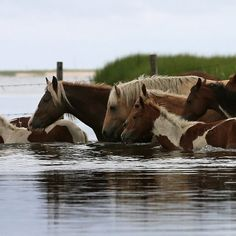 PICTURES OF THE WILD POIES OF CHINCOTEAGUE ISLAND SWIMMIN - Google Search