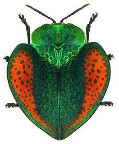 Leaf beetle; chrysomelidae