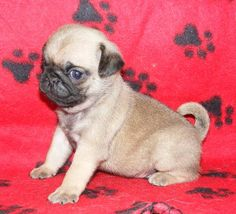 Cute Puppy Dogs: Pug Dog Puppies