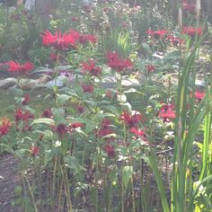 Red Johnny bee balm