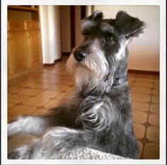 Find Out More On Playfull Miniature Schnauzer And Kids #miniatureschnauzerbrasil #schnauzercute #miniatureschnauzerfun Schnauzer Grooming, Schnauzer Puppy, Schnauzers, I Love Dogs, Cute Dogs, Miniature Schnauzer Black, Silly Dogs, Most Popular Dog Breeds, Purebred Dogs