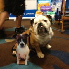 Flat @DoggiesandStuff with Tillman at #BlogPaws