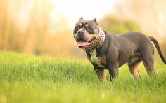 Herunterladen hintergrundbild pit bull terrier, hund, american pit bull terrier, grün, gras